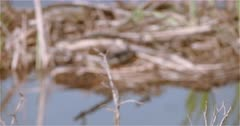 4K Painted Turtle sitting on dry grass and branches in lake camouflaged, rack focus,  Slow Motion