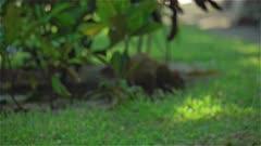 4K Capybara digging and eating in grass near beach -  Sian Ka'an, Mexico