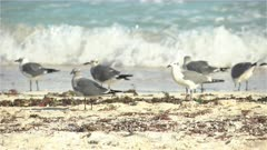 Sandpipers and Seagulls on beach in waves - Sian Ka'an