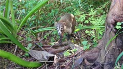 4K Coati on jungle floor, turns and disappears in to mangrove - Hand Held