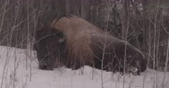4K Wood Bison, two curled up along tree line on snow, snow falling, tighter frame - pan from one to other - SLOG2