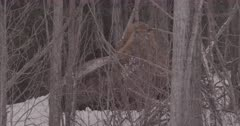 4K Wood Bison curled in the trees, snow falling, tighter frame - SLOG2