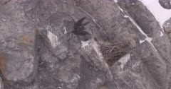 4K Raven leaves her nest on rock face in alpine and flies out of frame, zoom out - Slow Motion - SLOG2