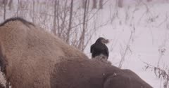 Raven & Bison Behavior
