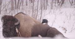 4K Raven plucking fur from back of Wood Bison, wider shot - Slow Motion - SLOG2