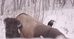 4K Raven plucking fur from back of Wood Bison, wider shot - Slow Motion - SLOG2