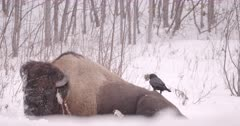 4K Raven plucking fur from back of Wood Bison, zoom out - Slow Motion - SLOG2