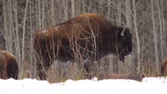 4K Wood Bison herd at edge of forest, snow falling, pan  - SLOG2