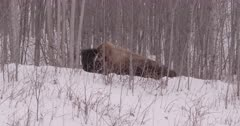 4K Wood Bison curled in the trees, snow falling - Slow Motion - SLOG2