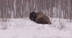 4K Wood Bison two curled in the trees, pan from one to other - Slow Motion - SLOG2