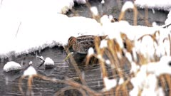 4K Sand pipers two, forge along the edge of a pond in the snow