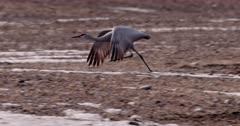 4K Sandhill Crane, flys away low over barren, icy and rocky terrain - Slow Motion