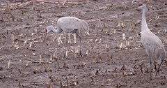 4K Sandhill Crane, two forging in farmers field, both exit frame - Slow Motion
