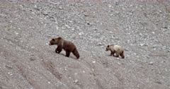 4K Grizzly mother and cub climb along rock face, cub stops to defecate - Slow Motion