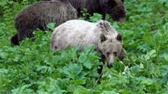 Extremely RARE - White Grizzly, two year old with mother & two other siblings, in thick green underbrush
