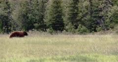 4K Brown Bear walking through grassy field, trees behind - Slow Motion