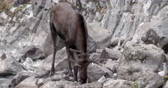 4K Bull Moose drinking from mineral spring - Slow Motion