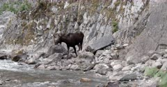4K Bull Moose walks through mineral spring, slips on slimy rocks, start wide zoom in - Slow Motion
