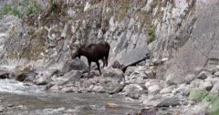 4K Bull Moose walks through mineral spring, slips on slimy rocks, start wide zoom in - Slow Motion