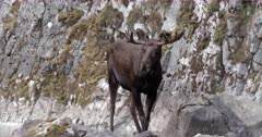 4K Bull Moose drinking from mineral spring, raises head to look around - Slow Motion