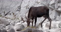 4K Bull Moose drinking from mineral spring, walks around base of stone cliff face - Slow Motion