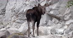 4K Bull Moose drinking from mineral spring, periodically looking back to camera - Slow Motion