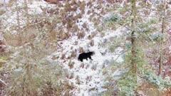 Aerial follow Black Bear walking along hillside in snow through trees