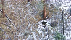 Aerial Black Bear walking along hillside in snow, hides in brush