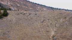 Aerial dolly/follow band of Big Horn Sheep along hill side + up and over