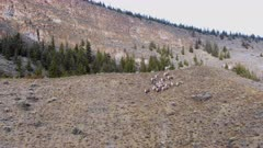 Aerial dolly/follow band of Big Horn Sheep along hill side + up and over top of hill, reveal mountain