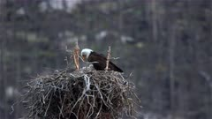 Bald eagle with eaglets in nest