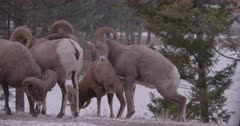 Rocky Mountain Big Horn Rams head butting during rut, slow motion