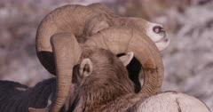 Rocky Mountain Big Horn Rams head butting during rut - Close up, slow motion