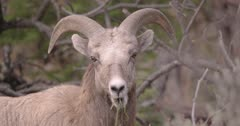 California Big Horn Sheep - Ewe with mouth full of grass, Slow Motion, tight shot