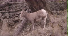 California Big Horn Sheep - Ewe rubbing against a Common Mullein, Slow Motion