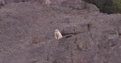 Mountain Goat looking down from high ledge, zoom out