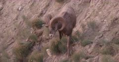 Rocky Mountain Big Horn Rams grazing on steep hill side, slides down, slow motion, zoom out