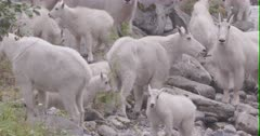 Mountain Goats - large band with kids on rivers shore