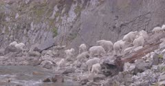 Mountain Goats - large band with kids licking from mineral spring on rivers shore, Slow Motion, Zoom wide