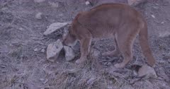Cougar chewing on piece of deer carcass
