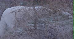 Arctic Wolf forges for food at side of hill then walks up to 2nd wolf on top - Slow Motion