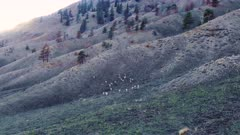 Aerial fly up to reveal Big Horn Sheep herd/band running up hills at sunset