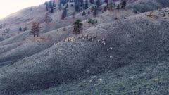 Aerial fly in to Big Horn Sheep herd/band running up hills at sunset