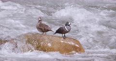 Harlequin Ducks, male and female on large rock in middle of river - slow motion - Close UP