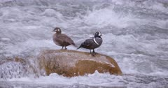 Harlequin Ducks, male and female on large rock in middle of river - slow motion - Zoom out wide