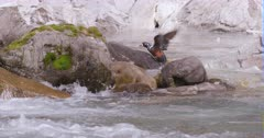 Harlequin Ducks, female and male diving for food, swim upstream - slow motion