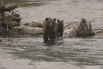 Grizzly bear mother & young cub fishing for spawning salmon along river edge - Cute moments - 6K Full Frame 16-bit Slow Motion