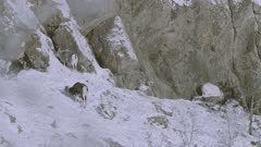 Dall Sheep rams along rock face in the snow, two start to battle, others watch