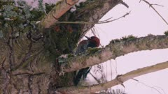 Red Breasted Sapsucker pecking away at insects in the moss on a snow coverage tree, Slow Motion - Reverse Angle