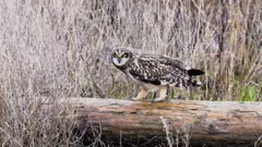 Long Eared Owl walks along log and hides in brush camouflaged - Slow Motion